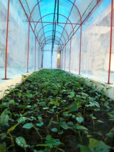 A mist clonal nursery in Poblacion, Barotac Nuevo, Iloilo with chamber elevated bed that can accommodate an approximately 1, 800 seedlings for propagation. A sprinkled water technology is place on on the top to maximize the area for watering.