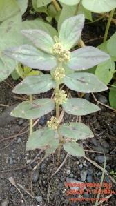 Euphorbia Hirta. Taken from Janiuay, Iloilo.